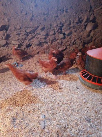 Sprzedam młode kury nioski 9 tygodniowe