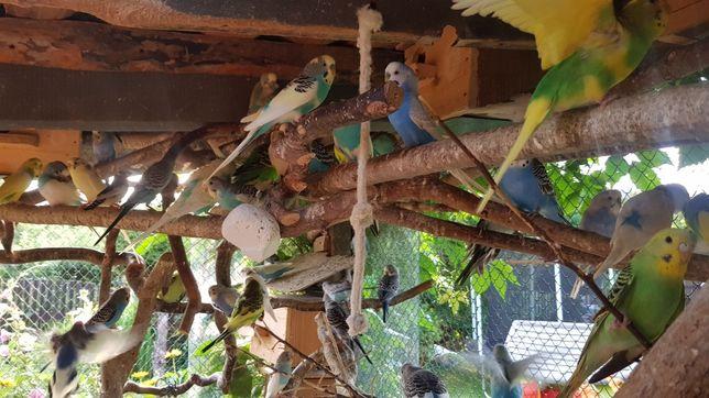 Papugi faliste oswojone