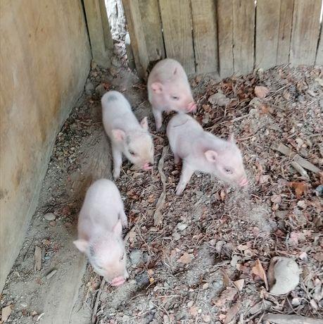 Mini pigs novinhos
