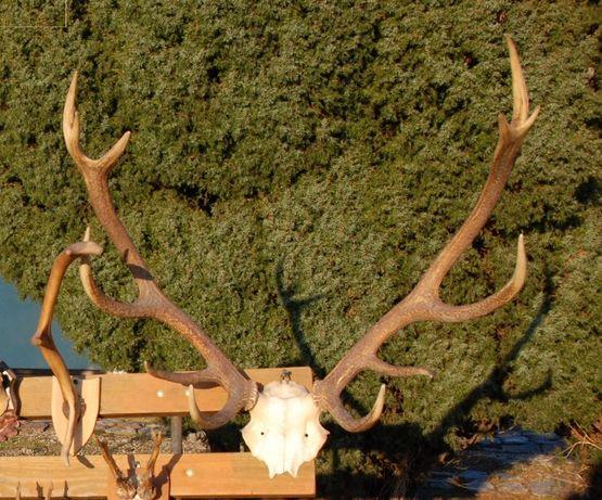 Poroże jelenia sprzedam