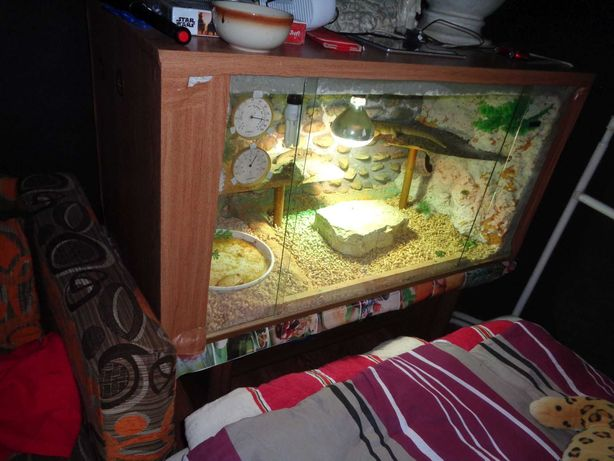Agamy Brodate wraz z terrarium