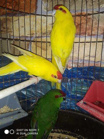 Продам попугаев Какариков