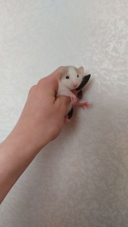 Крысята дамбо очень красивые малыши