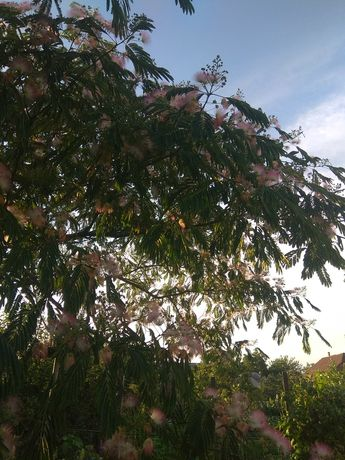 Декоративное дерево Альбиция