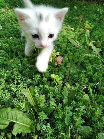 Подарю бесплатно, даром белоснежных котят