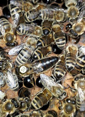 Пчеломатки, пчелопакеты, ульи,пчел,бджоломатки