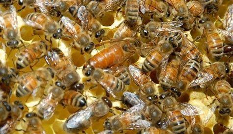 Бджолині матки бакфаст f1 (бджоломатки, пчеломатки)