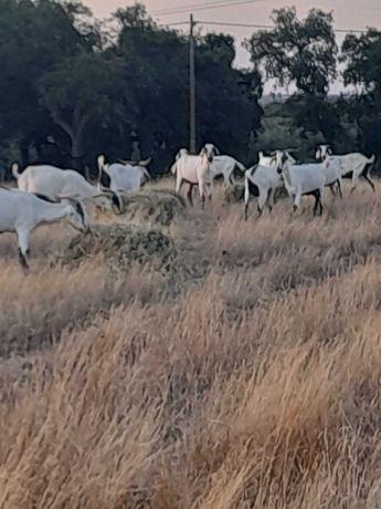 Vendo cabras serpentinas