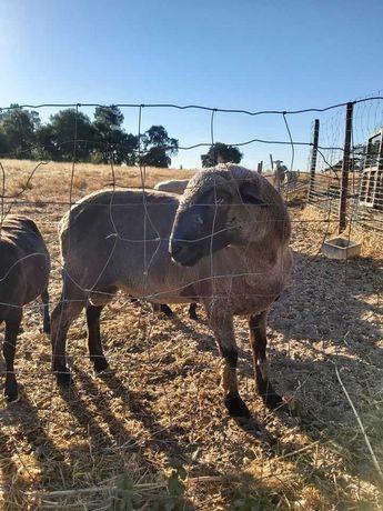Borregos,dois machos, duas ovelhas , um carneiro reprodutor...