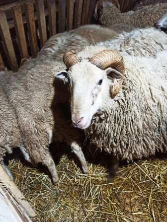 Продам бараны овцы вівцю овець ягнята