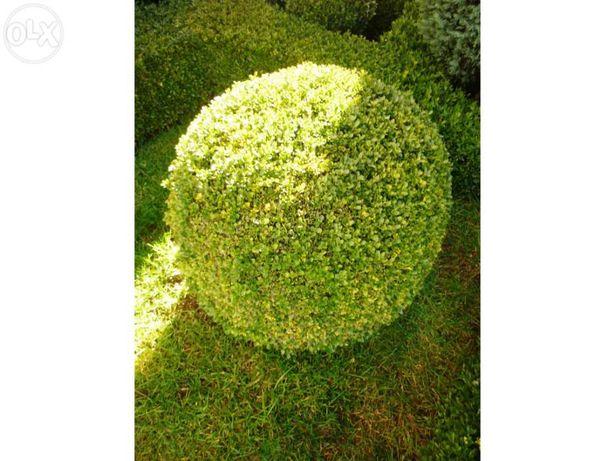 Buxo Bola para jardim