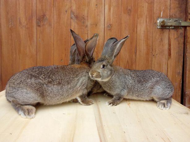 króliki, królik, samce i samice