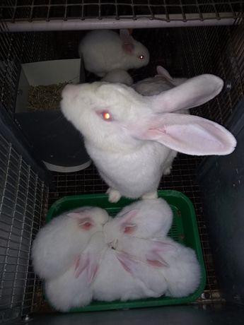 Кролики порода хілла
