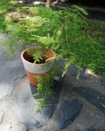 Feto Asparagus em vaso