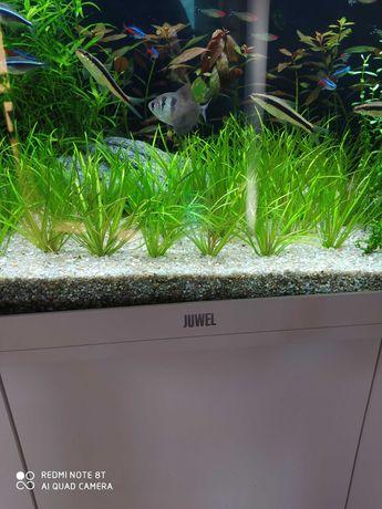 Rośliny akwariowe Blyxa Japonica 1zł za szt
