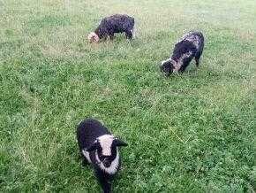 Sprzedam  Zamienię Owce Górskie