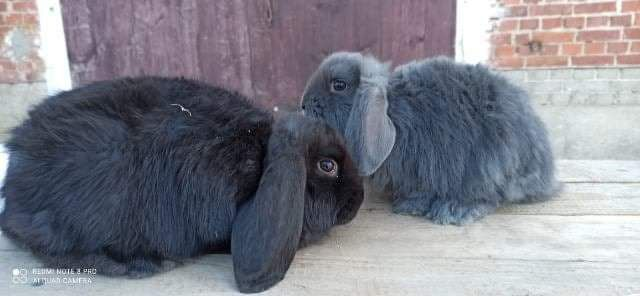 Młode króliki BF