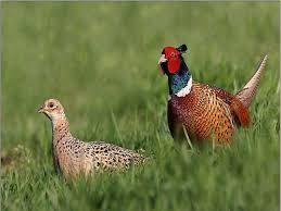 фазан ромунський мисливський молодняк-дорослий . є кількість
