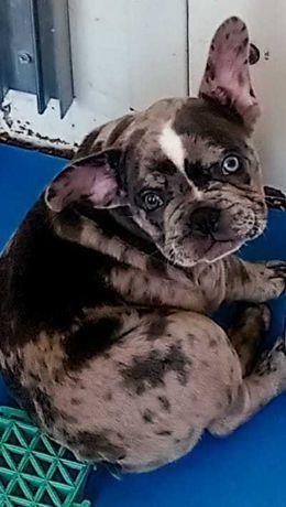 Bulldog francês exótico merle azul cores muito raro .Olhos  diamante