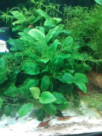 Анубиас (в аквариум )