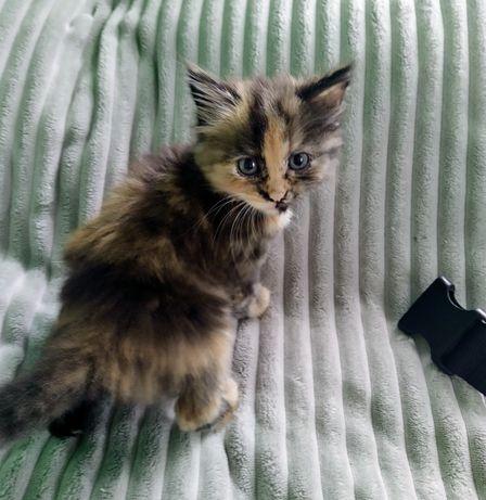 Віддамо кошеня в добрі руки