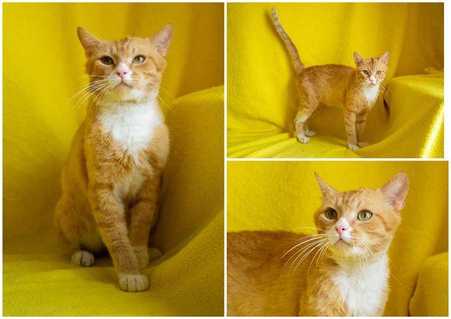 Рыжий с белым воротничком кот Фунтик, ласковый, кастрирован, 1 год