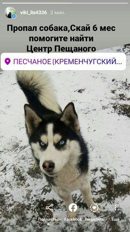 Помогите найти собаку (хаски)