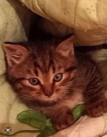 Котенок мальчик 1,5 месяца