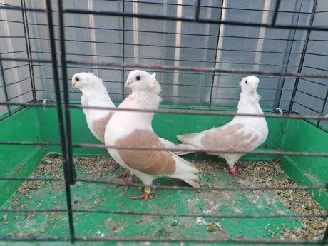 Gołębie              Mewki