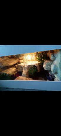 Agama brodata wraz z terrarium