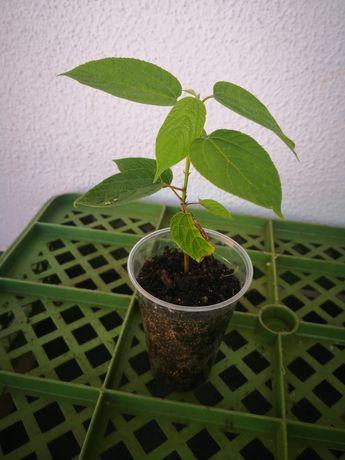 Hovenia dulcis - uva japonesa