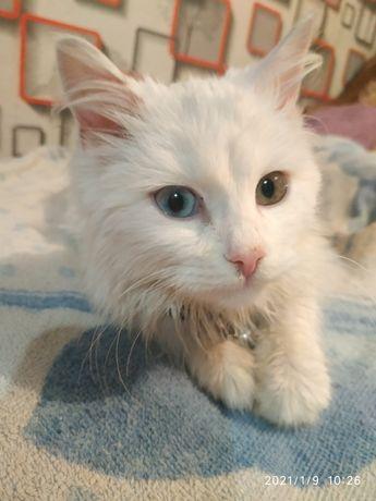 Продам чудесного котёнка с разным(редким)окрасом глаз.