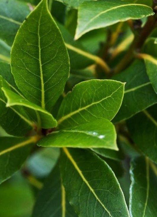Folhas Loureiro biológico envio gratuito
