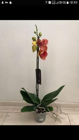 Пелор Сурф Сонг бабочка орхидея