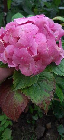 Гортензия крупноцветковая Малиново-розовая.