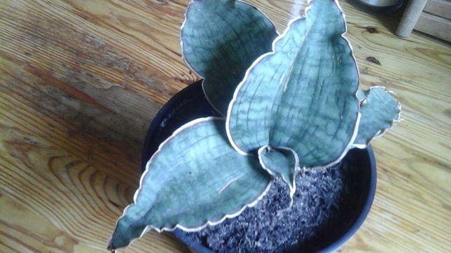 Duża Sansevieria silver kirki blue,Peperomia,Anginka  wariegata