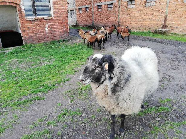 owca , tryk romanowski