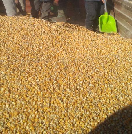 Aktualne Kukurydza sucha mielona i w calosci pasza ziarno srutowana