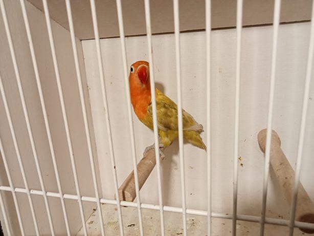 Nierozłączka samica czerwonoczelna