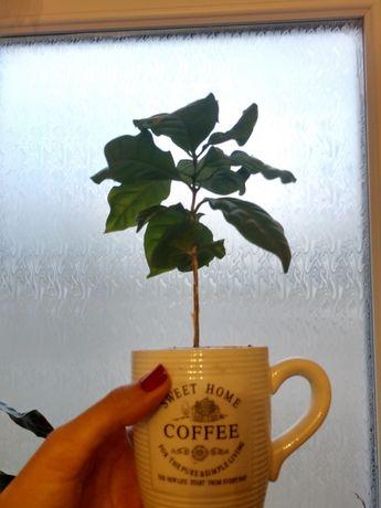 Кофейное дерево, саженцы 15-20 см