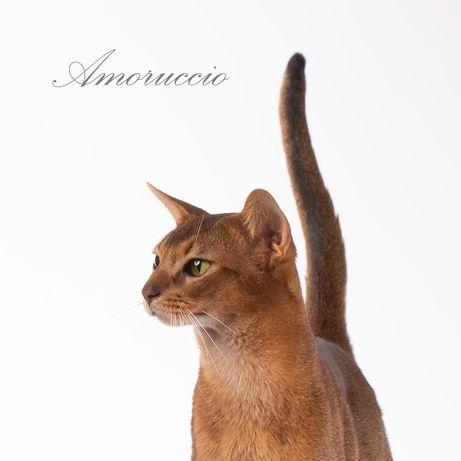 Абиссинский кот CFA