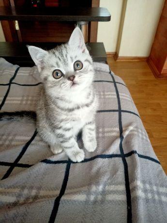 Шотландський прямовухий котик