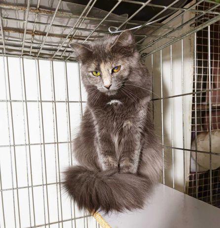 Попеляста кішечка Лея, 1 рік, стерилізована