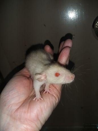 Szczury, samce, DUMBO, syjam, red devil