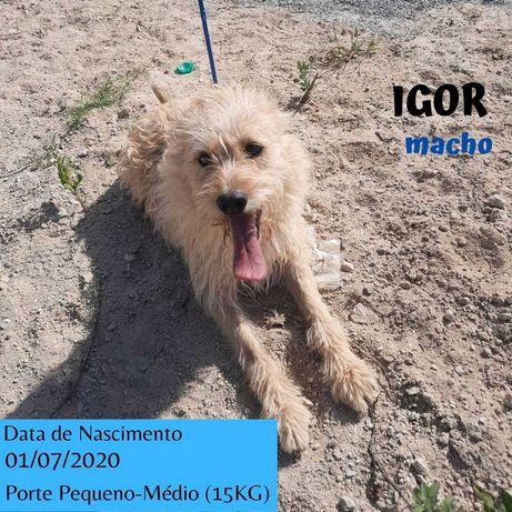 Cão Porte Pequeno-Médio (15kg) Para Adoção (Igor)