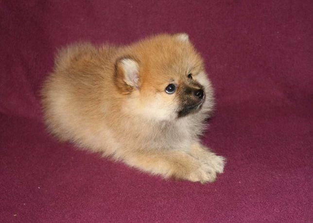 Pomeranian  Szpic Miniaturowy BOO nowa cena i zdjęcia