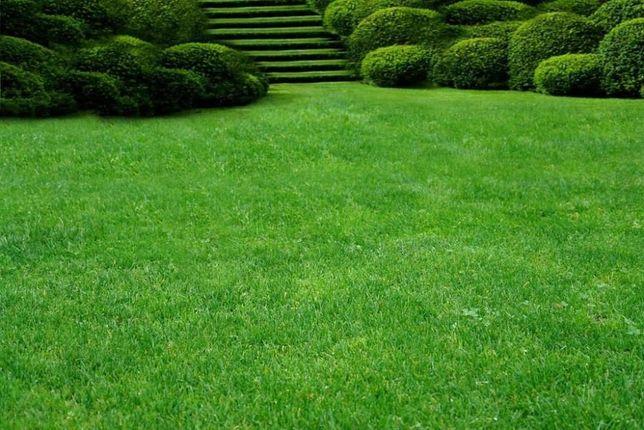Семена ГАЗОННОЙ ТРАВЫ, газонная трава, от 75 грн/кг урожай 2020