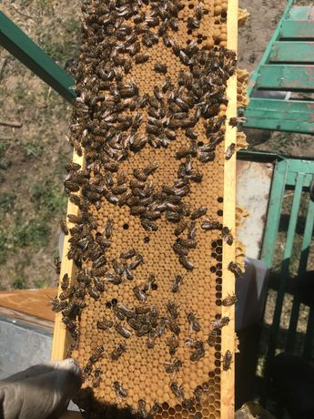 Пчеломатки плодные, пчелопакеты 3+1