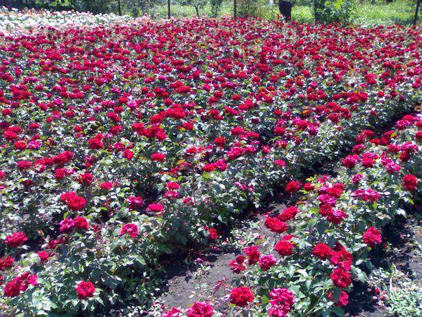 Продам саженцы роз,розница.