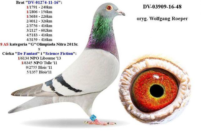Młode 2021 Para 18 Oryg. Roeper x Wouters inbre gołąb gołębie pocztowe